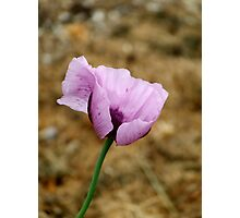 Poppy in Pink Photographic Print