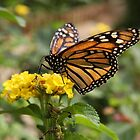 Monarch Butterfly by LisaRoberts