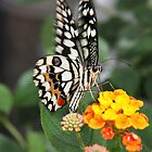 Chequered Swallowtail by LisaRoberts