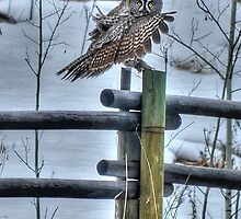 Great Grey Owl on a Ranch by Skye Ryan-Evans