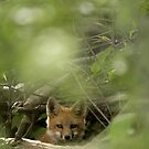 Baby Fox by beckerphotos