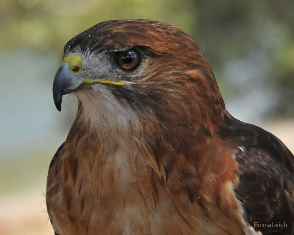 Red Tailed Hawk by EmmaLeigh