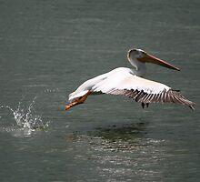 Pelican In Flight by Larry Trupp