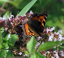 Small Tortoiseshell 02 by Sharon Perrett
