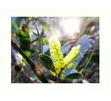 Wattle & Sun  Art Print