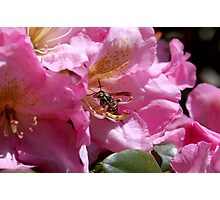 """""""BIG BAD WASP""""!!!!  BUT THE RHODODENDRON WAS PRETTY! Photographic Print"""
