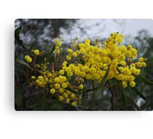 Wattles are Everywhere!! Canvas Print
