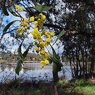 Wattle at the lake. by Lozzar Flowers & Art