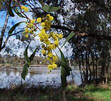 Wattle at the lake. by Lozzar Flowers & Art