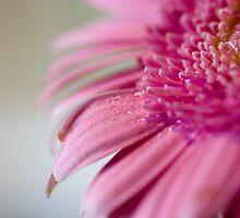 Little Pink Gerb by hannahelizabeth