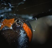 Red Back at Work by Stephen Quennell