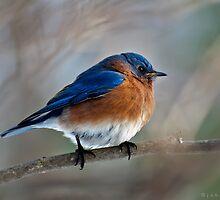 Mr Bluebird by John Rinaldi