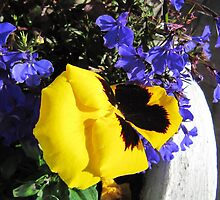Electric Blue Lobelia & Yellow Pansy. Patio Pot. 'Arilka'. by Rita Blom
