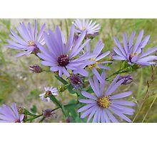 Light Purple Wildflowers Photographic Print
