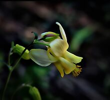 Wild Yellow Columbine by Vickie Emms