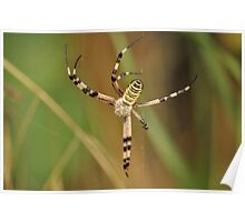 argiope spider weaving its cobweb Poster