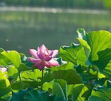 Pink Lotus Flower by Jarede Schmetterer