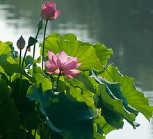 Two Pink Lotus Blossom by Jarede Schmetterer