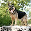 Old Fashion German Shepherd Dog by Marija
