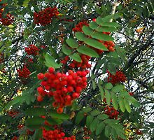 Fruit of the Mountain Ash by katpix