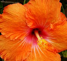 Vibrant Orange Hibiscus by Martice