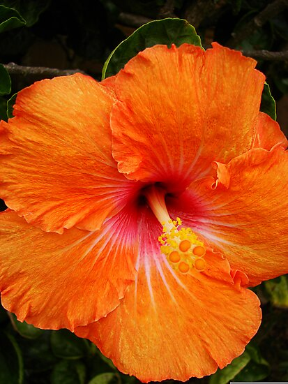 Vibrant Orange Hibiscus by Martice