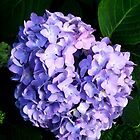 Luscious Lavender Hydrangea  by dreamNwish