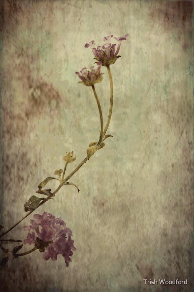 Softly by Trish Woodford