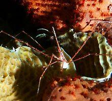 Arrow Crab at Night by Amy McDaniel