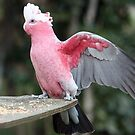 Aussie Galah by Magee