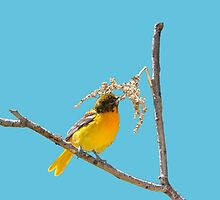 Female Baltimore Oriole Nest Building by hummingbirds