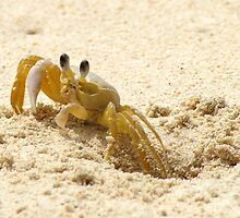 Bajan Crab by mark connell