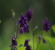 Purple Columbines by Happystiltskin
