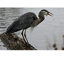 Great Blue Heron Swallowing Fish Photographic Print