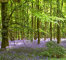 woodland bluebell by mark connell
