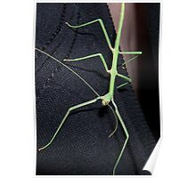 green walking stick Poster