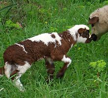 Cute Brown and White Lamb with Ewe by taiche