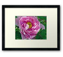 Pink Tree Peony Framed Print
