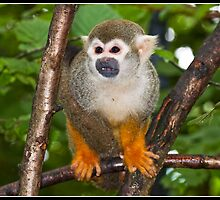 Common Squirrel Monkey by Shaun Whiteman