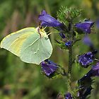 Brimstone Butterfly by jacqi