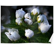 """Morning Dew On Wild Blackberry  Blossoms"" Poster"