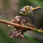 Dragonfly by Photodx