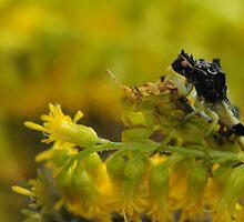 Jagged Ambush Bugs - Phymata erosa by Lynda   McDonald
