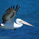 Pelican in Flight by John Peel