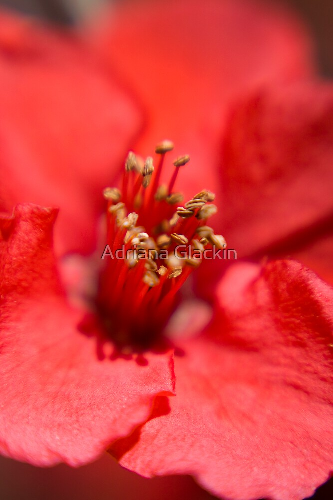 Quince Blossom by Adriana Glackin