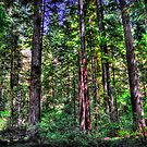 Redwood Forest HDR by Jeannie Peters