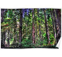 Redwood Forest HDR Poster