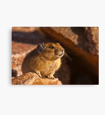 How To NOT Get An Image of a Pika Squeaking Canvas Print