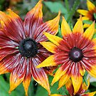Black eyed Susan Rustic Dwarfs by Dan Shiels