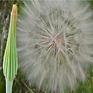 White Fluff Ball and Bud...Goat's Beard by MaeBelle